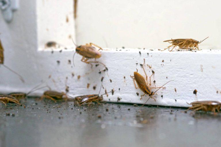 Κατσαρίδες συχνές ερωτήσεις